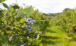 blueberry plantation in new south wales