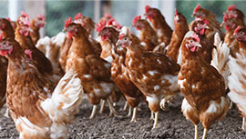 chickens in farm