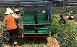farm workers loading fruit into cart