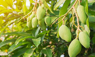 queensland green mangoes