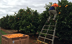 farm worker picking oranges in south australia