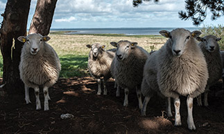 sheep on farmland in south australia