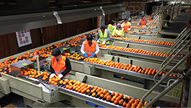agricultural work sorting oranges