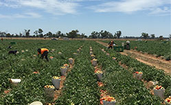 australia's leading agriculture labour hire company casual permanent season workers fruit picking crop harvest