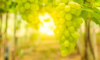 grapes on vines