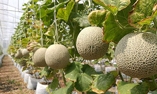 rockmelons growing in farm