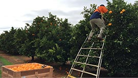 Australia's leading agriculture recruitment specialists labour hire seasonal workers